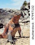 Marine Iguana  Amblyrhynchus...