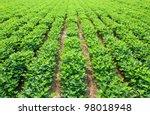 peanuts fields background | Shutterstock . vector #98018948