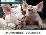 Stock photo pigs joking and laughing 98085485