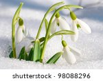 Spring Snowdrop Flowers With...