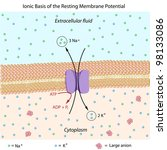 Ionic basis of resting membrane potential - stock photo