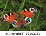 Peacock Butterfly Family...