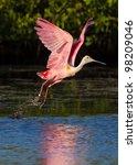 Roseate Spoonbill Takes Flight