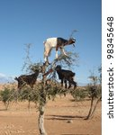 Stock photo goats in argan tree morocco 98345648