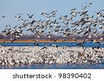 Large Flock Of Migrating Snow...