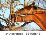 chestnut horse gnawing tree...   Shutterstock . vector #98408648