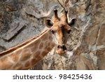 Giraffe in dusit zoo,Bangkok Thailand - stock photo