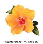 Orange Hibiscus Flower With...