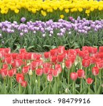 Colorful Tulips Field, Close Up - stock photo