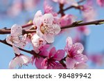 beautiful pink peach flowers... | Shutterstock . vector #98489942
