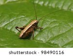 the brown grasshopper with long ... | Shutterstock . vector #98490116