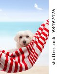 Adorable White Maltese Terrier...