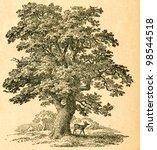 Oak Tree    Old Illustration By ...