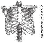 human thorax   vintage... | Shutterstock .eps vector #98545562
