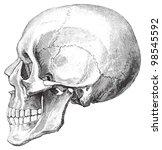 Human Skull   Vintage...