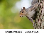A Squirrel Peeks Around The...
