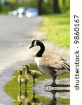 Two Goslings With An Adult...