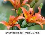 Orange lily flowers bush close up