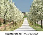 Rows Of Pear Trees In Blossom