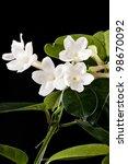 Flower Stephanotis. Close Up.