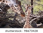 Stock photo big mother and one cute baby giraffe 98673428