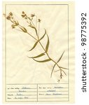 Small photo of Herbarium sheet - pressed plant : Stellaria holostea (Addersmeat, or Greater Stitchwort) is an ornamental plant native of Europe.