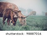 the cow and calf in a field | Shutterstock . vector #98887016