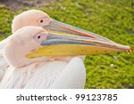 Two Kissing White Pelicans...