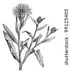 knapweed or centaurea or... | Shutterstock .eps vector #99125405