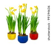 narcissus and daffodil in the... | Shutterstock . vector #99194636