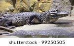 Lying Chinese Alligator ...