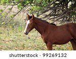 Beautiful wild horse on Easter Island in the South Pacific - stock photo