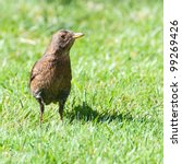 A Female Blackbird Stands In...