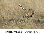 cheetah  acinonyx jubatus ...   Shutterstock . vector #99403172