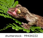 A Male Mossy Leaf Tailed Gecko...