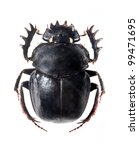 Small photo of The Scarabaeus - Dung beetle isolated on a white background.