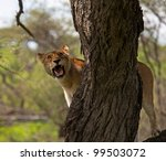 Постер, плакат: Female Lioness Hunting From