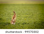 Stock photo brown hare lepus europaeus 99570302