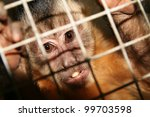 Monkey In Zoo Or Laboratory In...