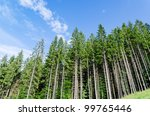 Pine Forest Under Cloudy Blue...