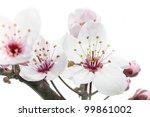 cherry plum or myrobalan... | Shutterstock . vector #99861002