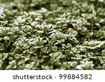 detail shot showing some small frosty leaves - stock photo