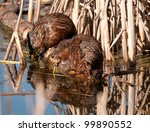 Two young beavers reflected in the water - stock photo