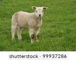 Young Sheep And Lamb Walking...