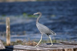 Shutterstock Photo by Shannon Carnevale, Little blue heron (Egretta caerulea) walking across a dock in Florida.