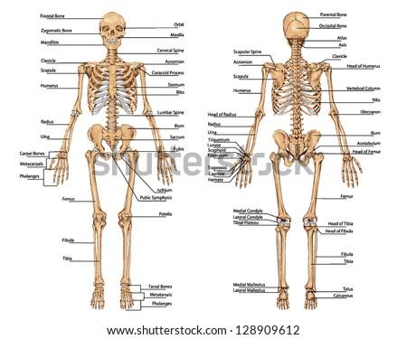 skeleton anatomy free vector download (183 free vector) for, Skeleton