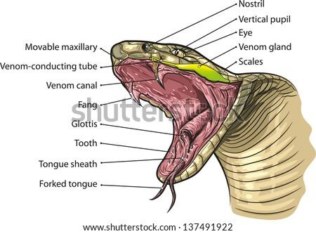 Snake Internal Anatomy