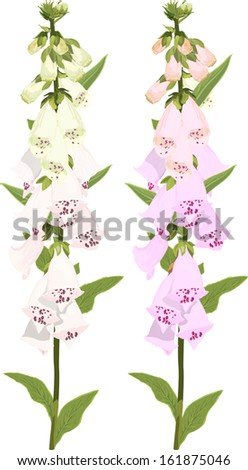 digitalis flowers on white