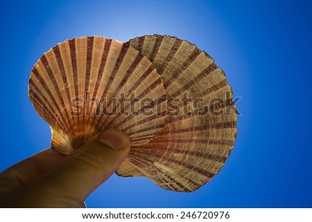 scallop shell in hand on blue