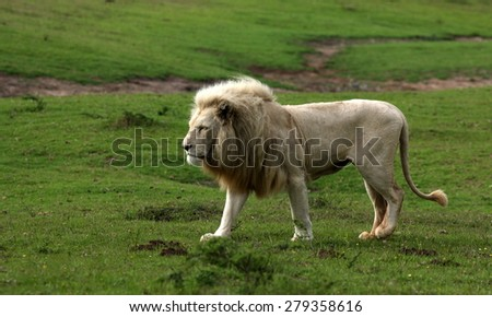 a big white lion walks past in